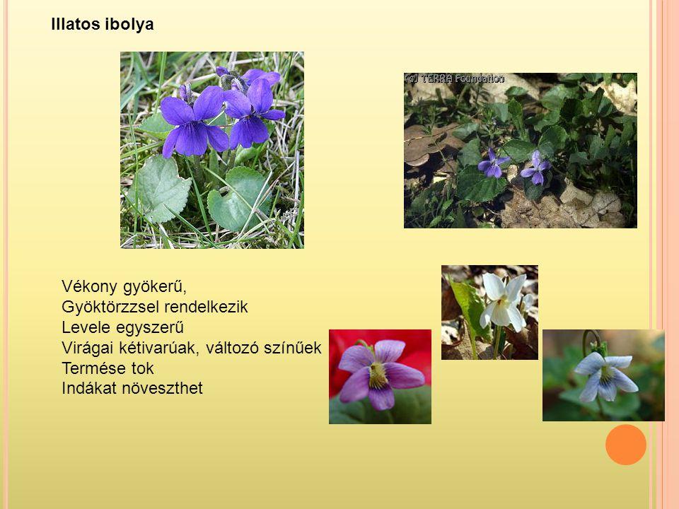 Illatos ibolya Vékony gyökerű, Gyöktörzzsel rendelkezik. Levele egyszerű. Virágai kétivarúak, változó színűek.