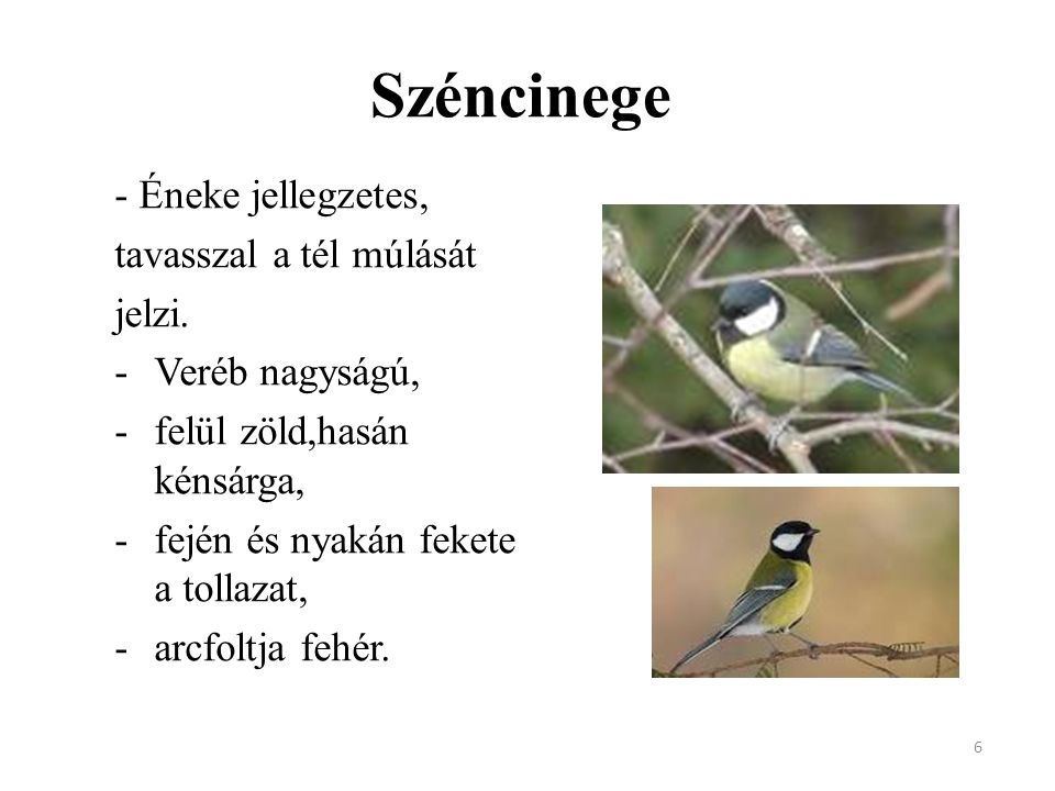 Széncinege - Éneke jellegzetes, tavasszal a tél múlását jelzi.
