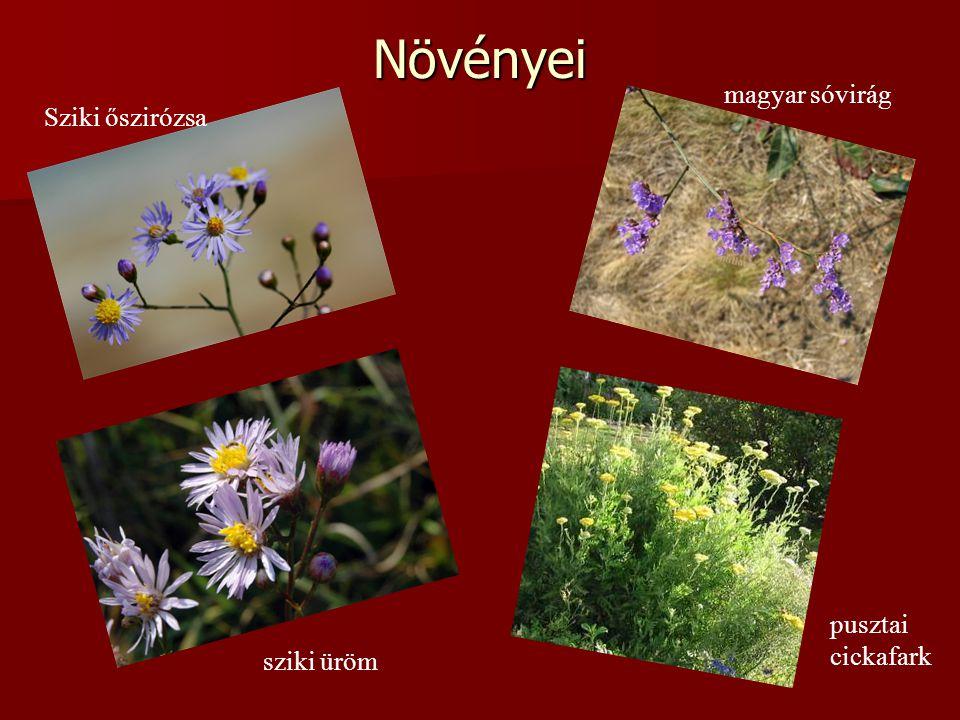 Növényei magyar sóvirág Sziki őszirózsa pusztai cickafark sziki üröm