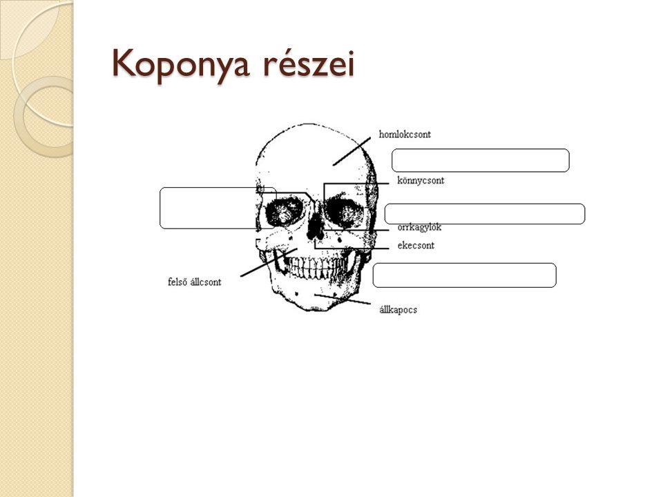 Koponya részei
