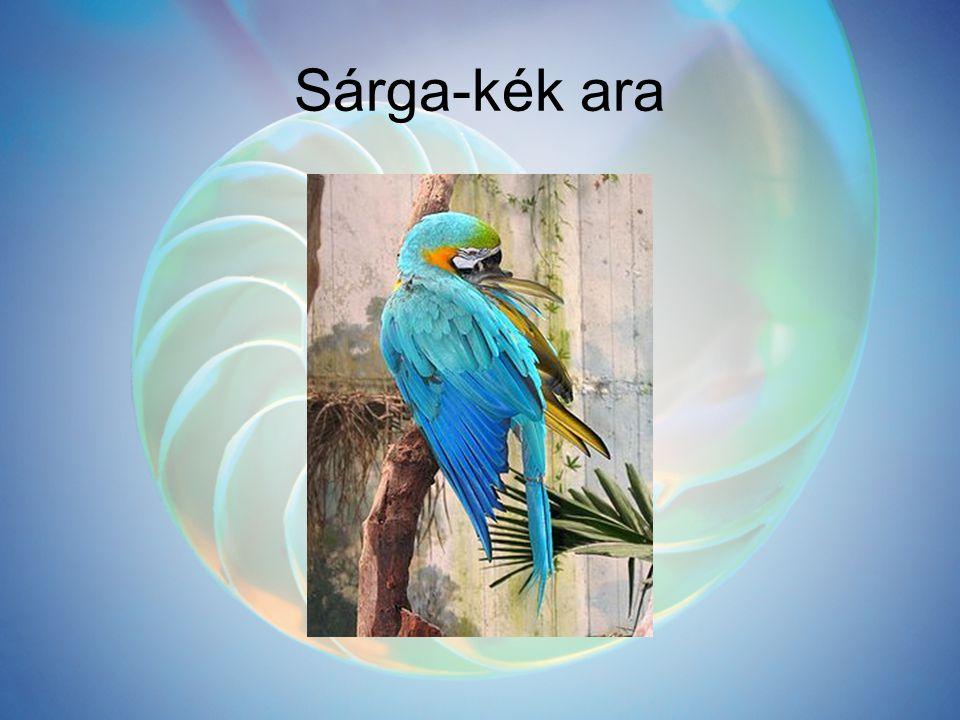 Sárga-kék ara