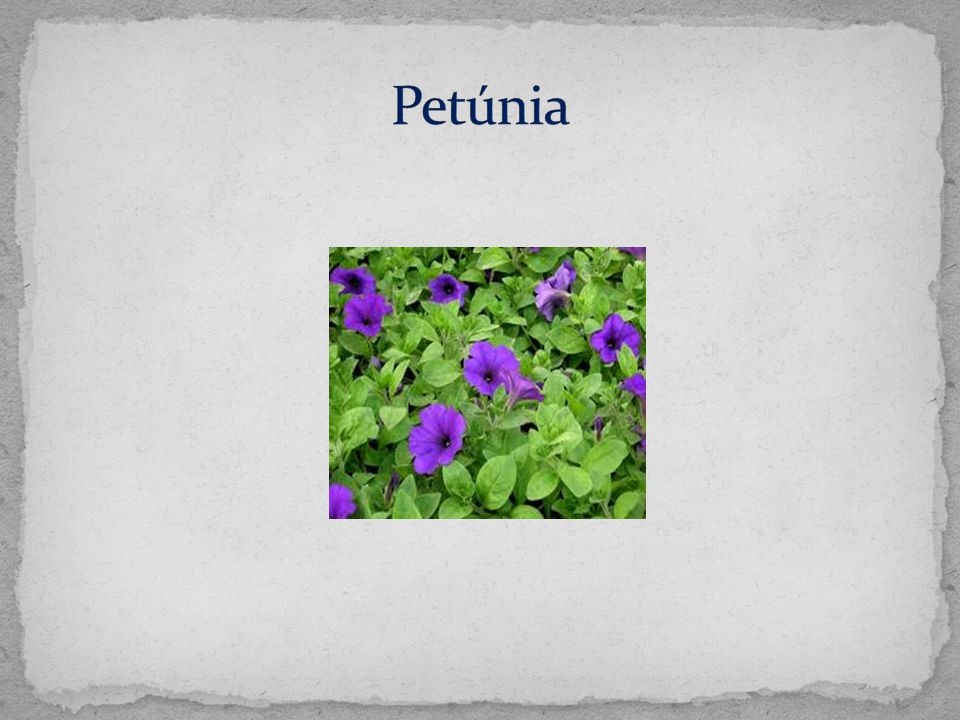 Petúnia