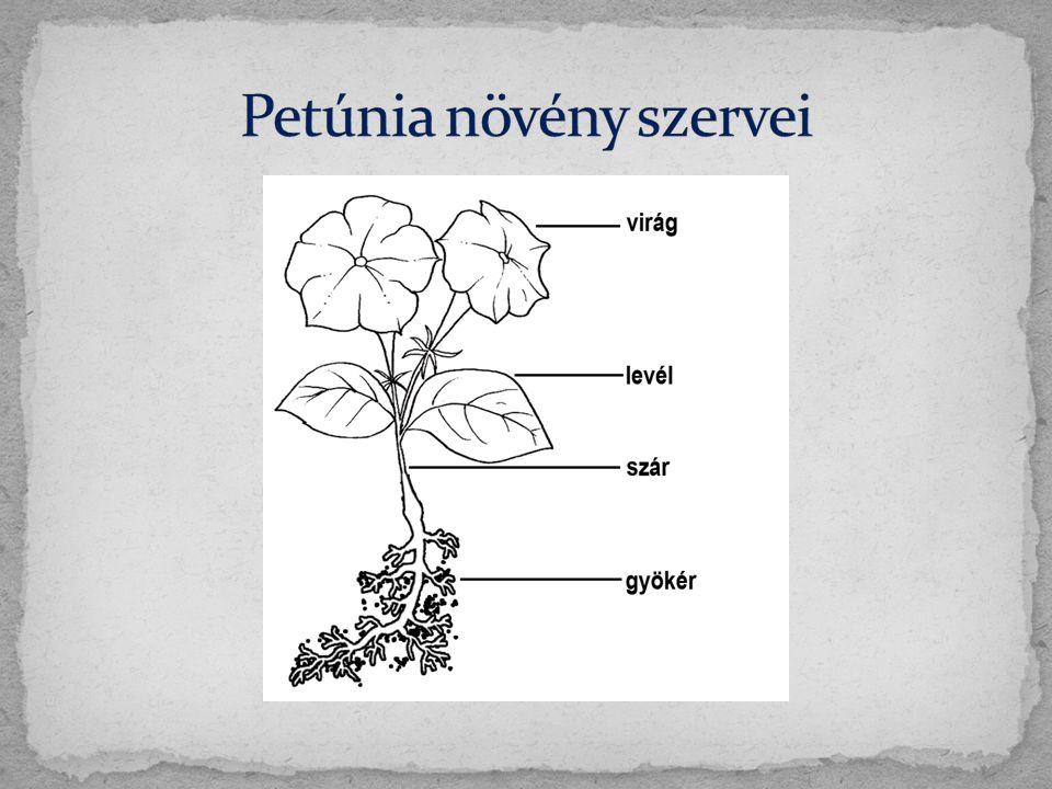 Petúnia növény szervei