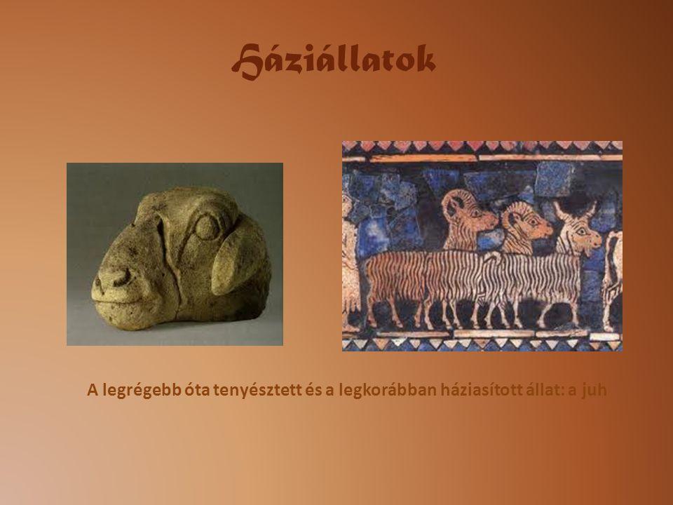 A legrégebb óta tenyésztett és a legkorábban háziasított állat: a juh