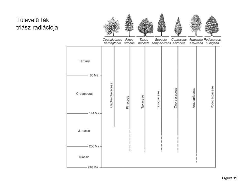 Tűlevelű fák triász radiációja Figure 11