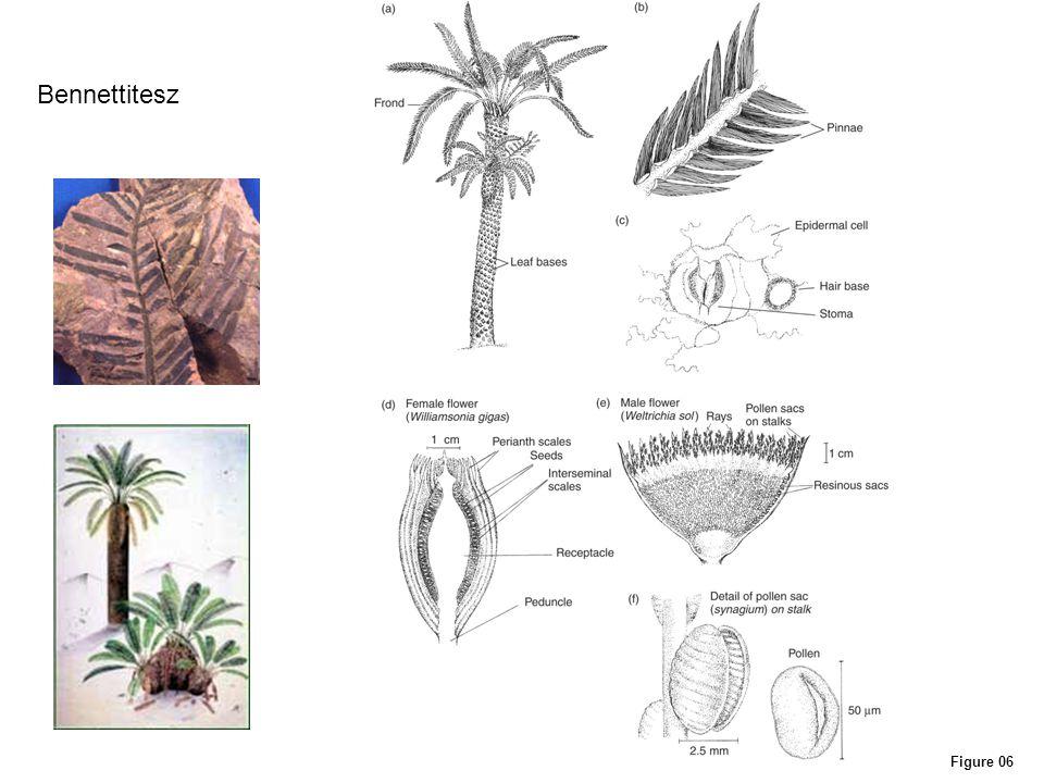Bennettitesz www.bbc.co.uk/.../images/ bennettites_p1.jpg