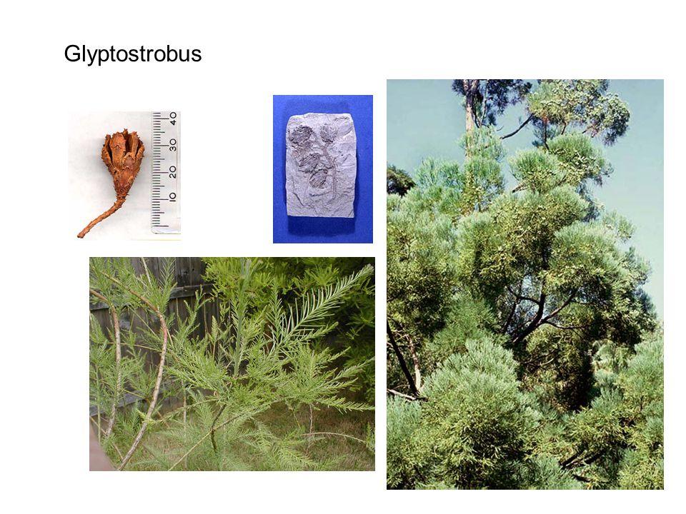 Glyptostrobus http://botit.botany.wisc.edu/courses/img/bot/401/Coniferophyta/Taxodiaceae/Glyptostrobus/G%20lineatus%20tree%20DW%20.jpg.