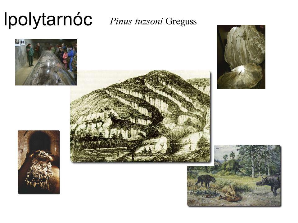 Ipolytarnóc Pinus tuzsoni Greguss