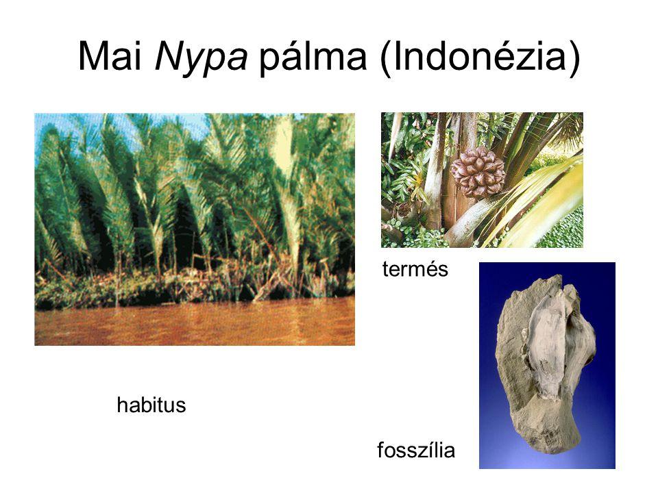 Mai Nypa pálma (Indonézia)
