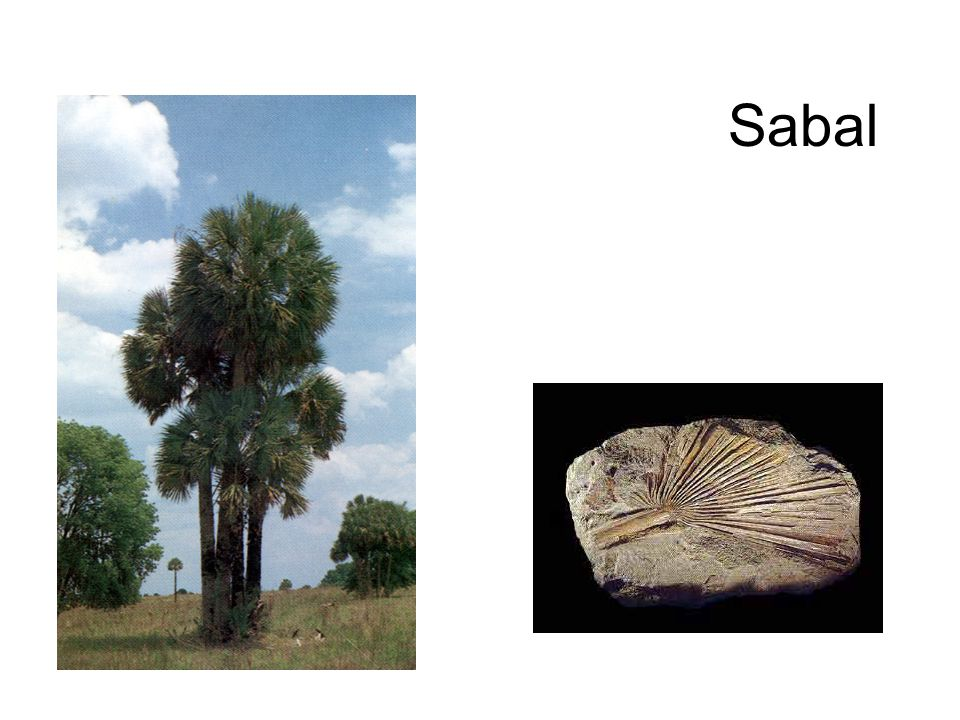Sabal http://www-sst.unil.ch/Musee/expos/slide_show/palm.jpg