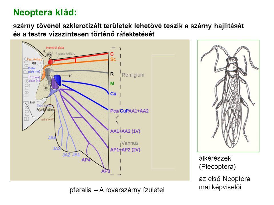 pteralia – A rovarszárny ízületei