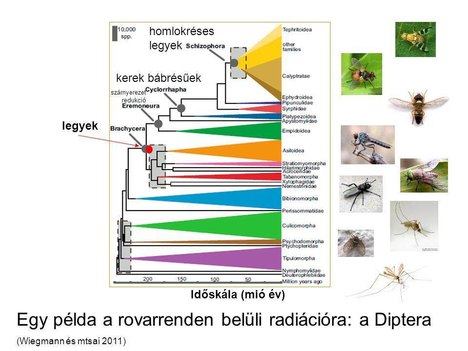 Egy példa a rovarrenden belüli radiációra: a Diptera