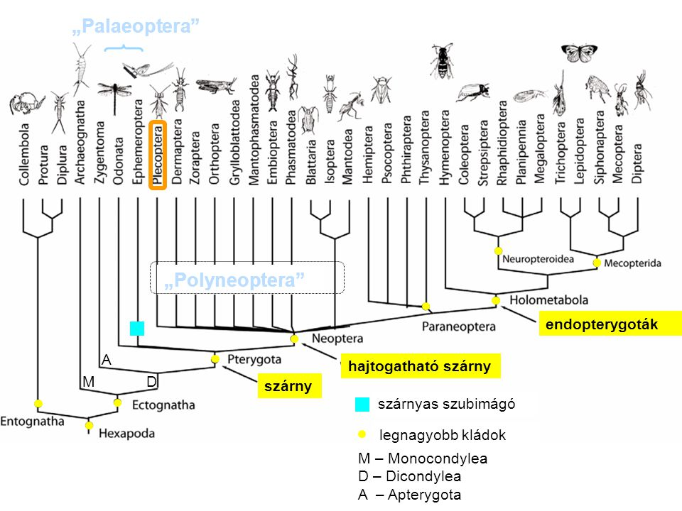 """""""Palaeoptera """"Polyneoptera endopterygoták A hajtogatható szárny M D"""