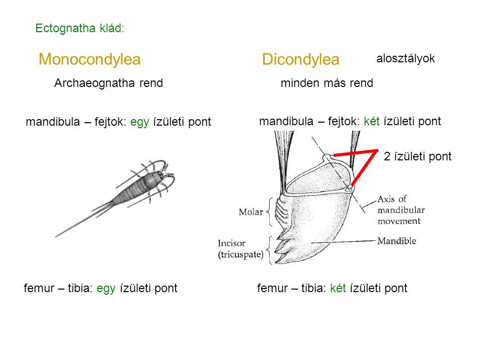 Monocondylea Dicondylea Ectognatha klád: alosztályok
