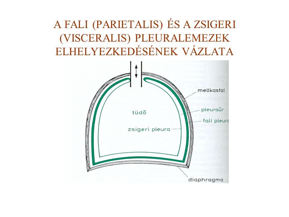 A FALI (PARIETALIS) ÉS A ZSIGERI (VISCERALIS) PLEURALEMEZEK ELHELYEZKEDÉSÉNEK VÁZLATA