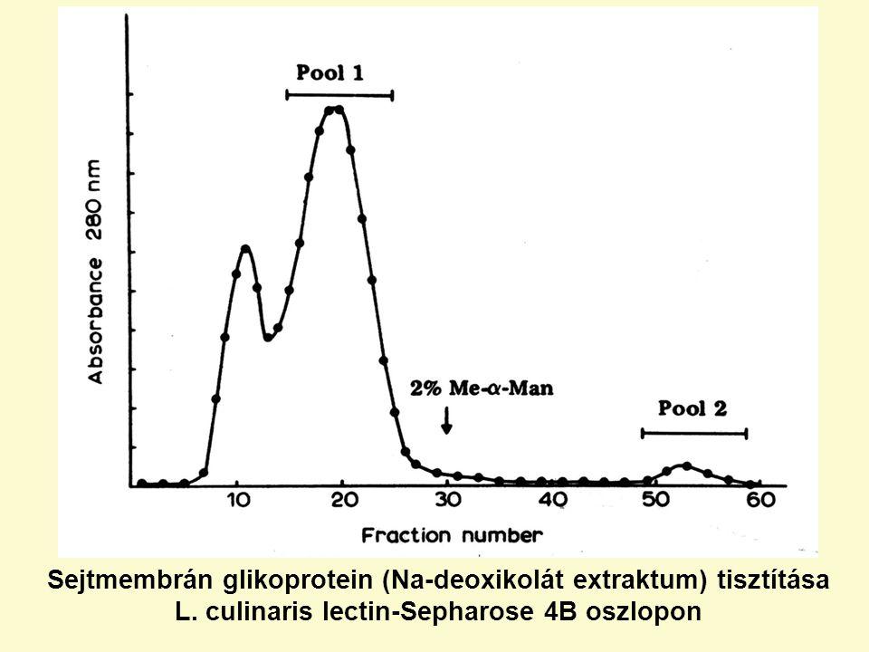 Sejtmembrán glikoprotein (Na-deoxikolát extraktum) tisztítása