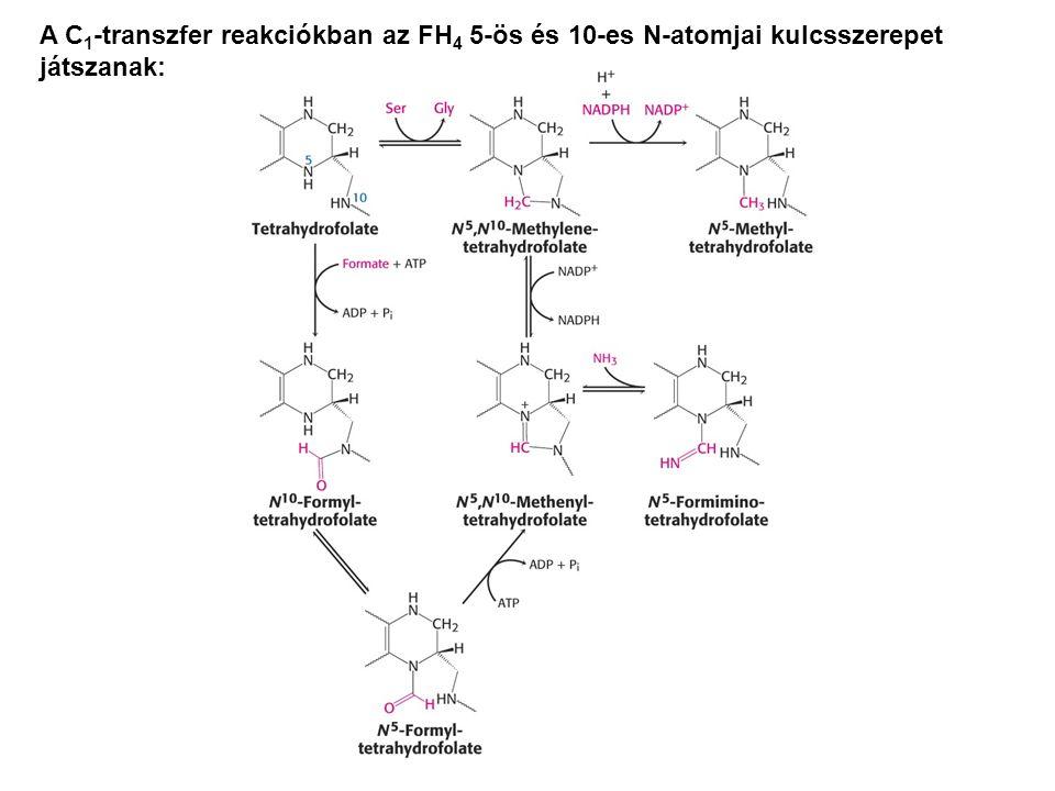 A C1-transzfer reakciókban az FH4 5-ös és 10-es N-atomjai kulcsszerepet játszanak: