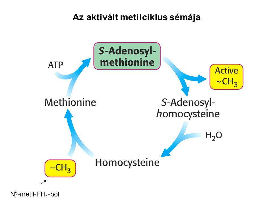 Az aktivált metilciklus sémája