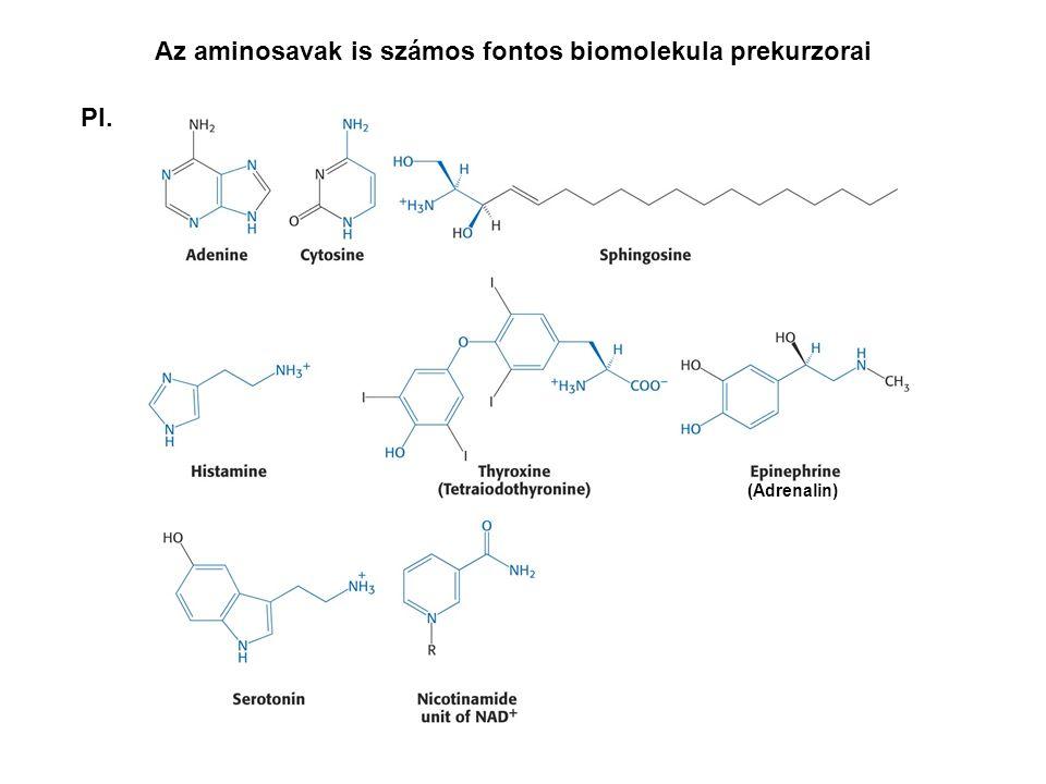 Az aminosavak is számos fontos biomolekula prekurzorai