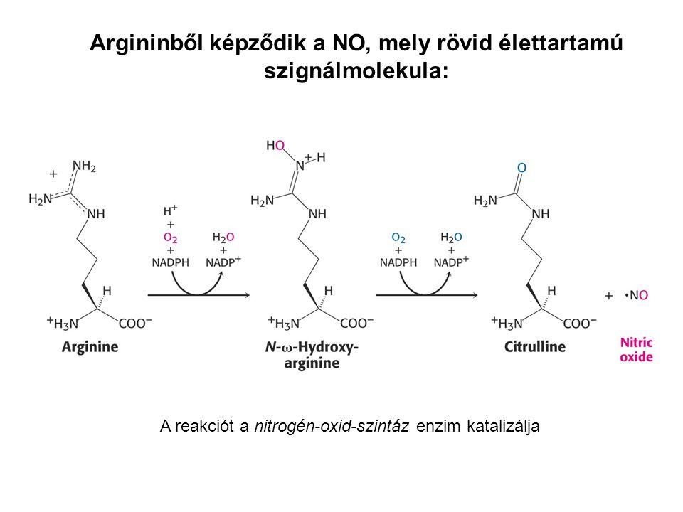 Argininből képződik a NO, mely rövid élettartamú