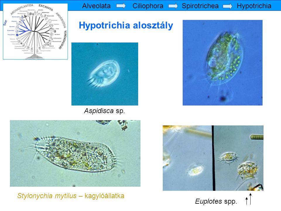 Hypotrichia alosztály