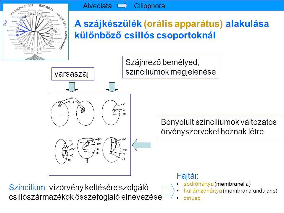 Alveolata Ciliophora A szájkészülék (orális apparátus) alakulása különböző csillós csoportoknál.