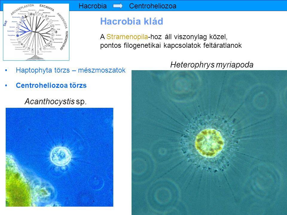 Heterophrys myriapoda