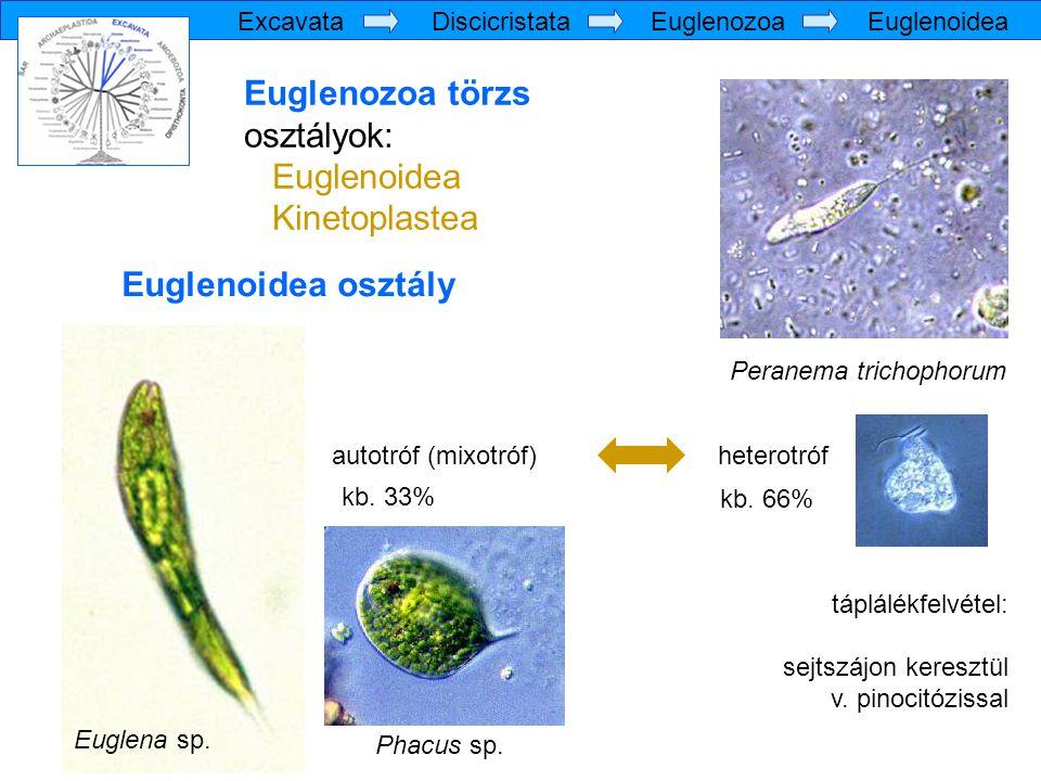 Euglenozoa törzs osztályok: Euglenoidea Kinetoplastea