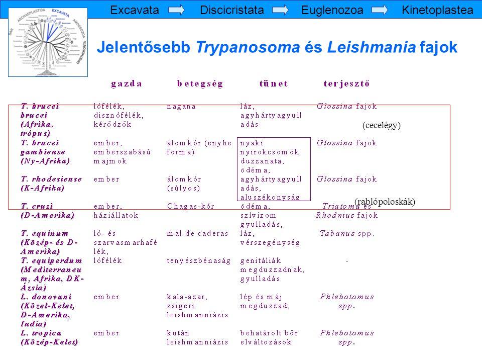 Jelentősebb Trypanosoma és Leishmania fajok