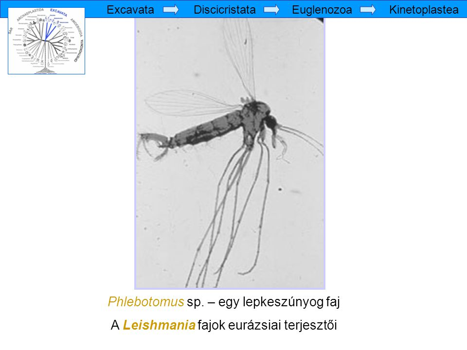 Phlebotomus sp. – egy lepkeszúnyog faj