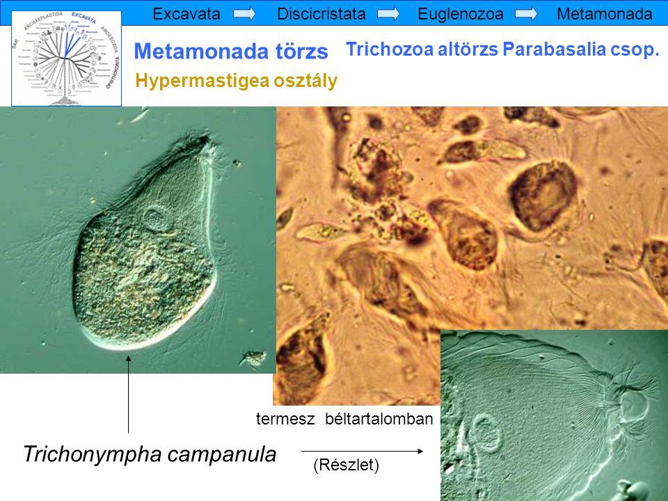 Trichonympha campanula
