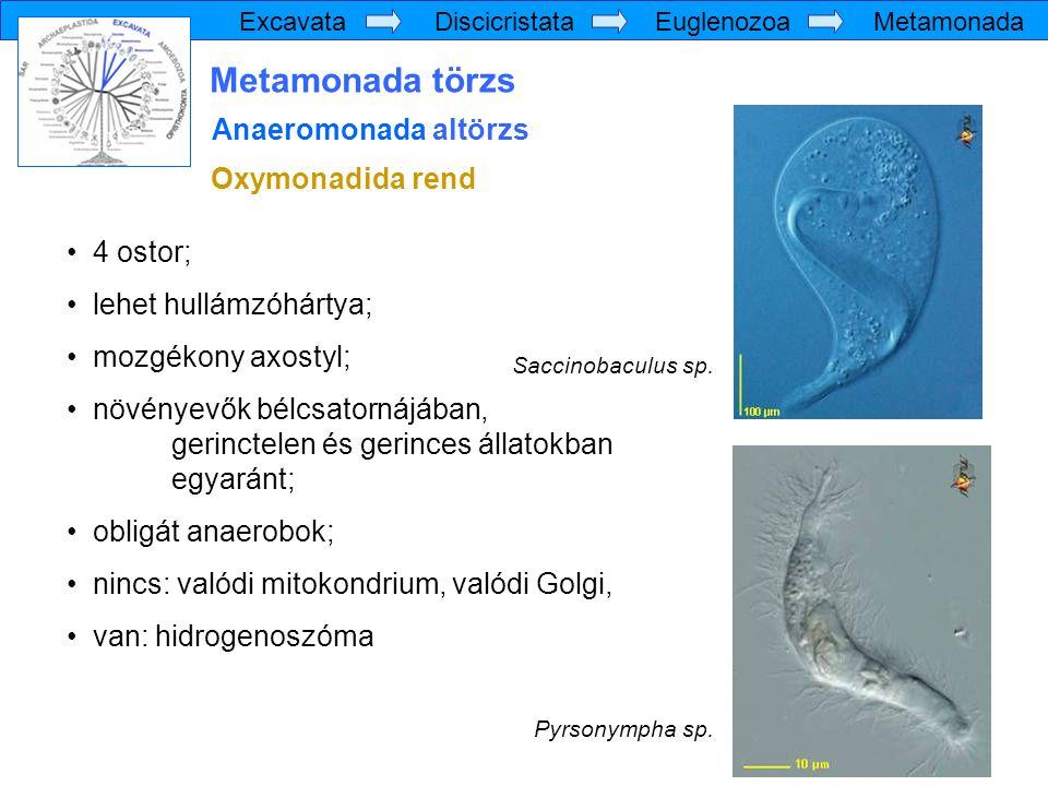 Metamonada törzs Anaeromonada altörzs Oxymonadida rend 4 ostor;