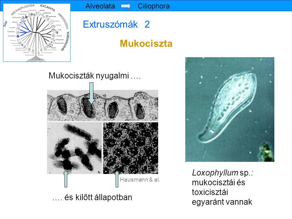 Extruszómák 2 Mukociszta Mukociszták nyugalmi …. Loxophyllum sp.: