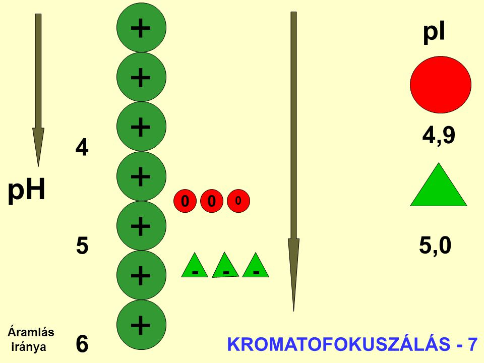 + + + + + + + pH pI 4,9 4 5 6 5,0 7 - - - KROMATOFOKUSZÁLÁS - 7