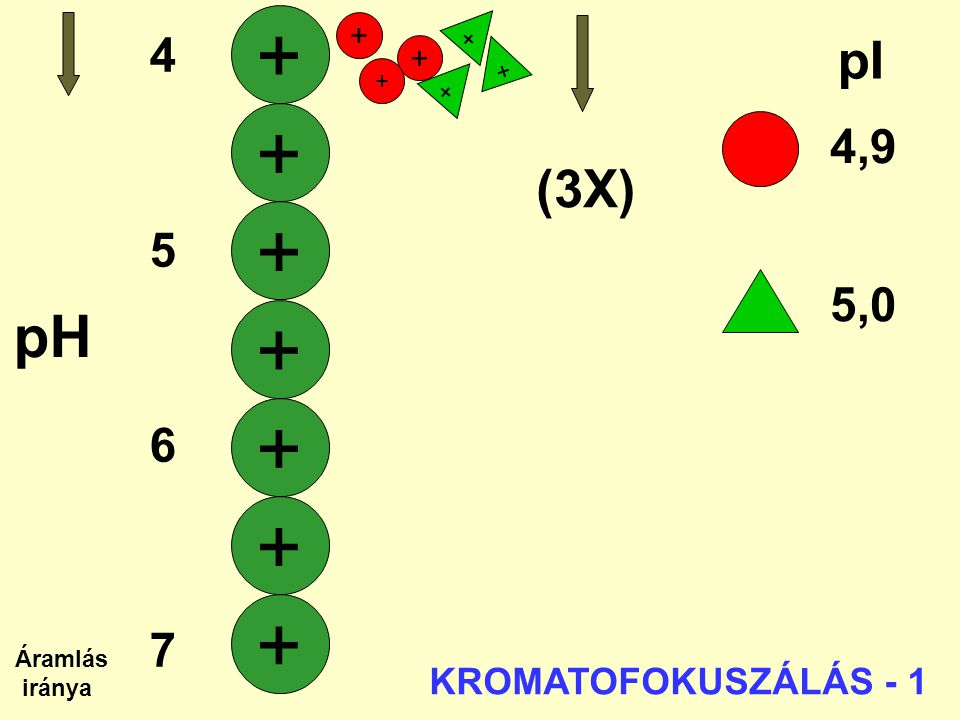 + + + + + + + pH pI (3X) 4 4,9 5 6 5,0 7 KROMATOFOKUSZÁLÁS - 1 + + + +