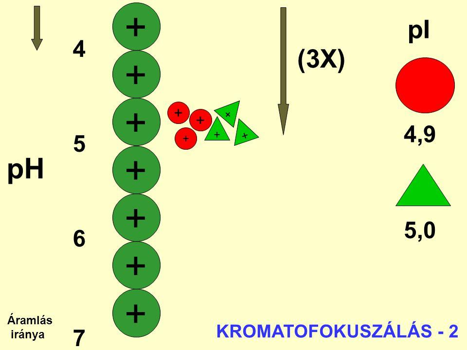 + + + + + + + pH pI (3X) 4 5 4,9 6 7 5,0 KROMATOFOKUSZÁLÁS - 2 + + + +