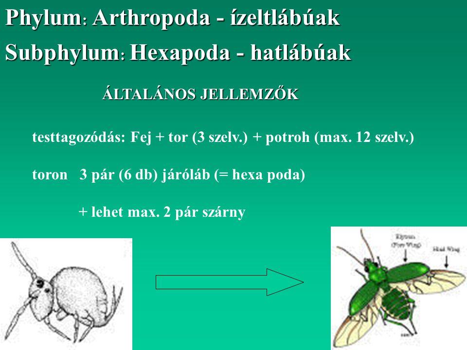 Phylum: Arthropoda - ízeltlábúak