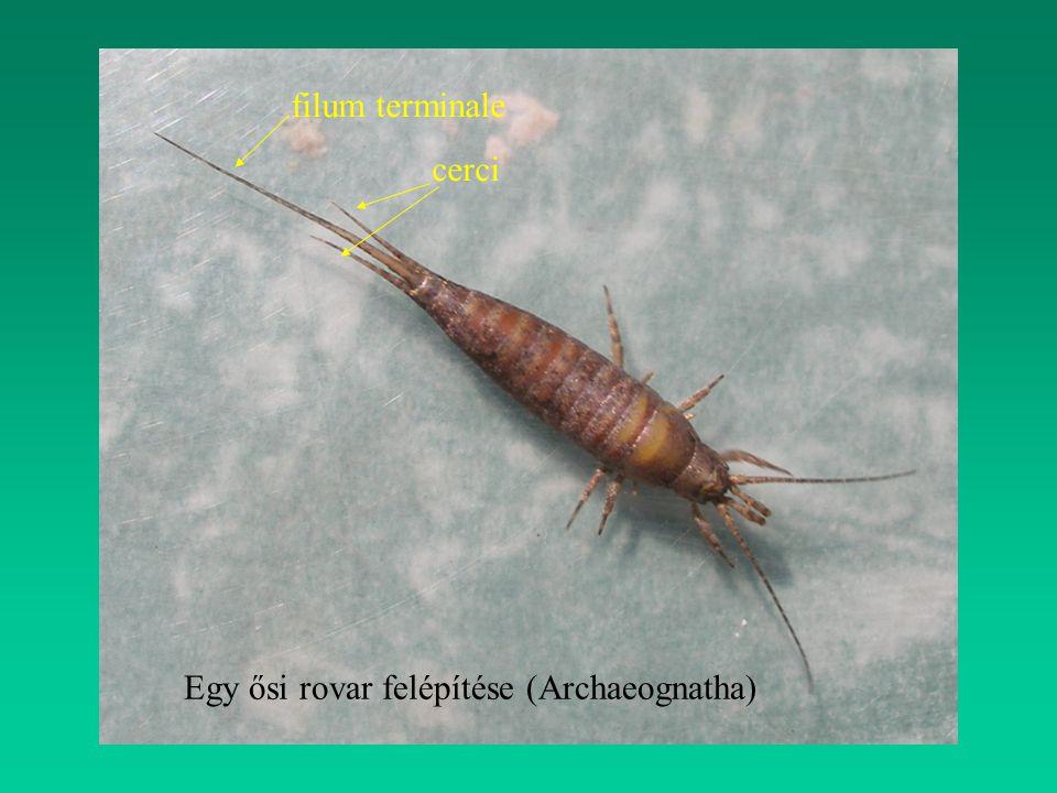 filum terminale cerci Egy ősi rovar felépítése (Archaeognatha)