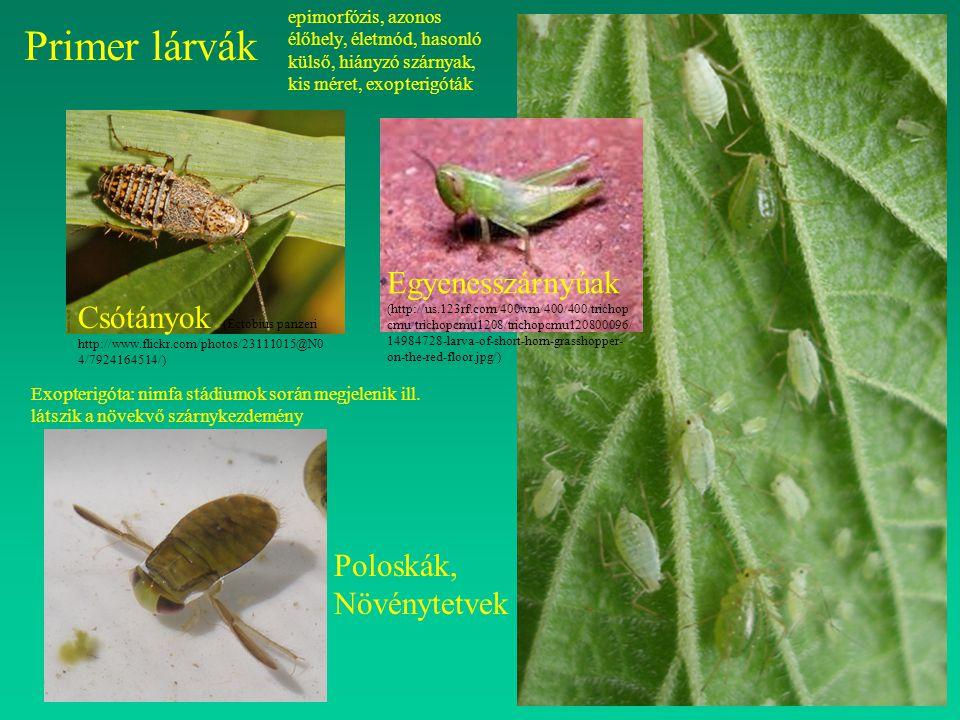epimorfózis, azonos élőhely, életmód, hasonló külső, hiányzó szárnyak, kis méret, exopterigóták