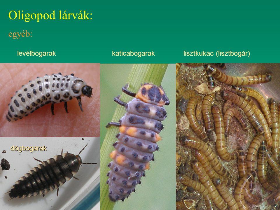 Oligopod lárvák: egyéb: levélbogarak katicabogarak