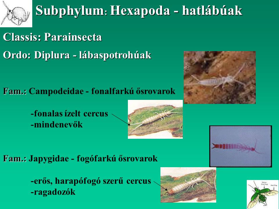 Subphylum: Hexapoda - hatlábúak