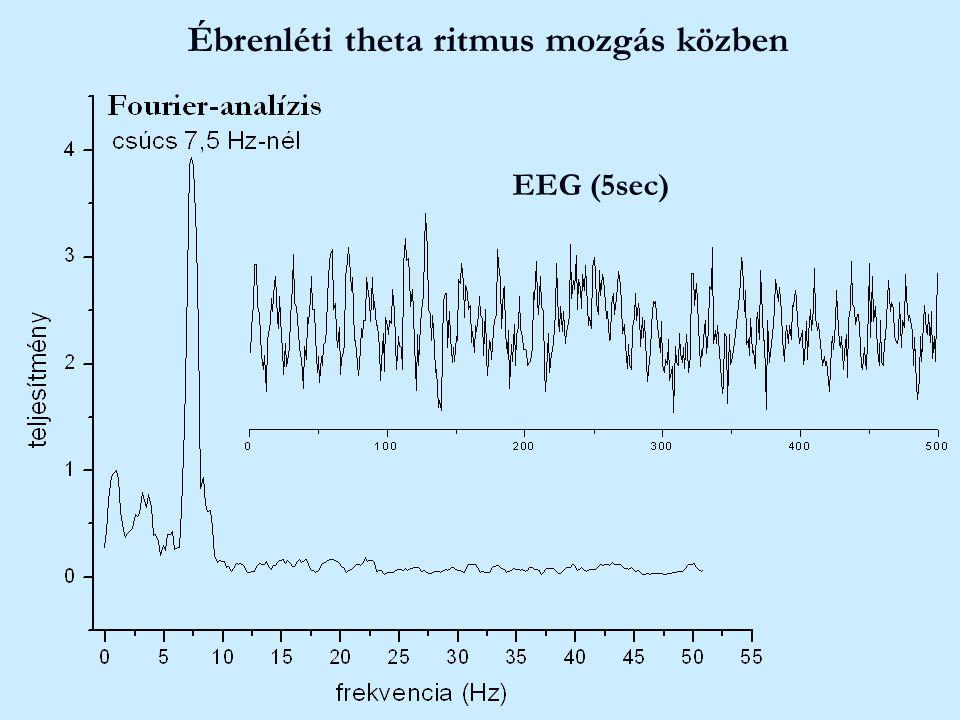 Ébrenléti theta ritmus mozgás közben