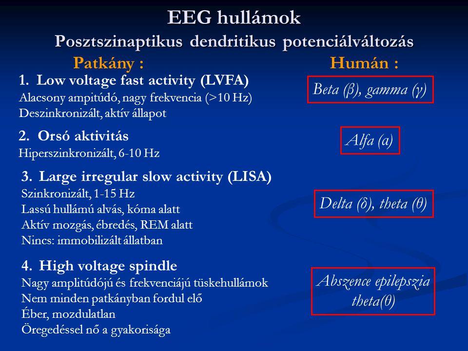 EEG hullámok Posztszinaptikus dendritikus potenciálváltozás