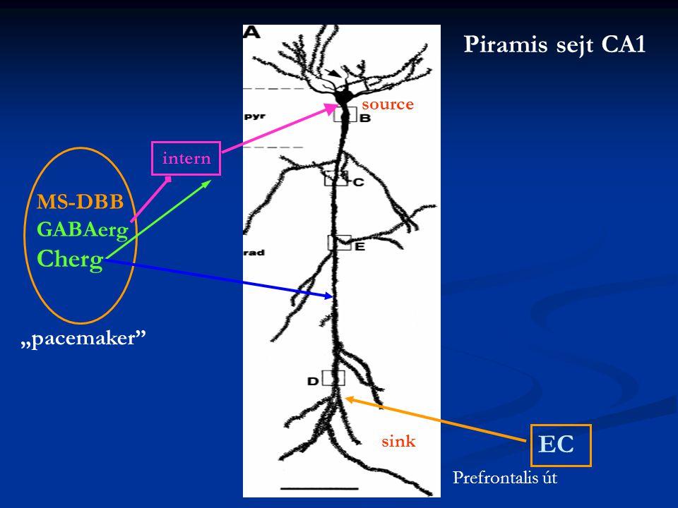 "Piramis sejt CA1 Cherg EC MS-DBB GABAerg ""pacemaker source intern"
