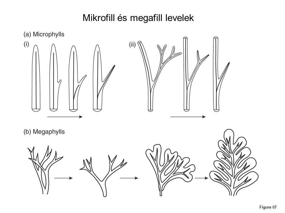 Mikrofill és megafill levelek
