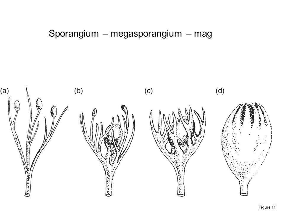 Sporangium – megasporangium – mag