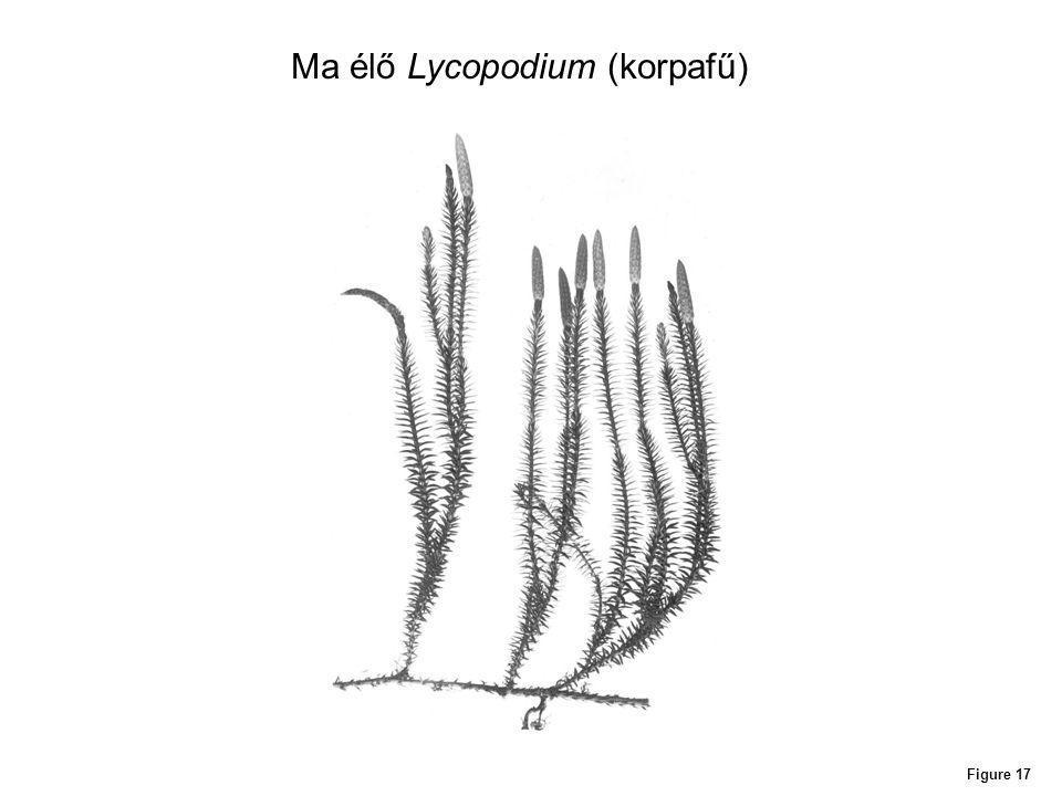 Ma élő Lycopodium (korpafű)