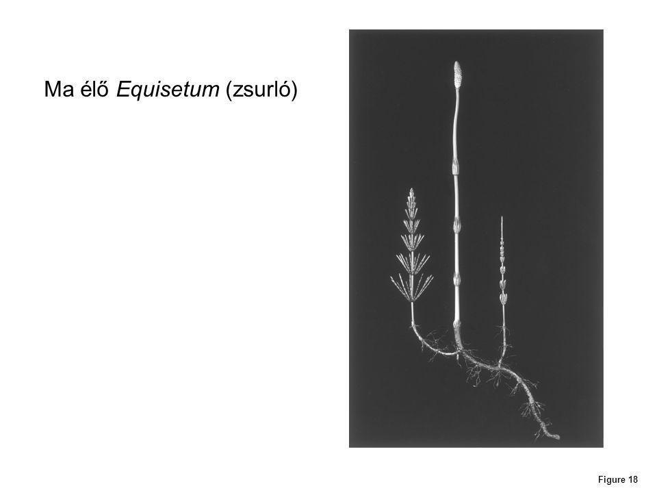 Ma élő Equisetum (zsurló)
