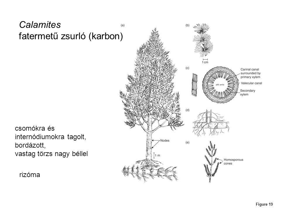 fatermetű zsurló (karbon)