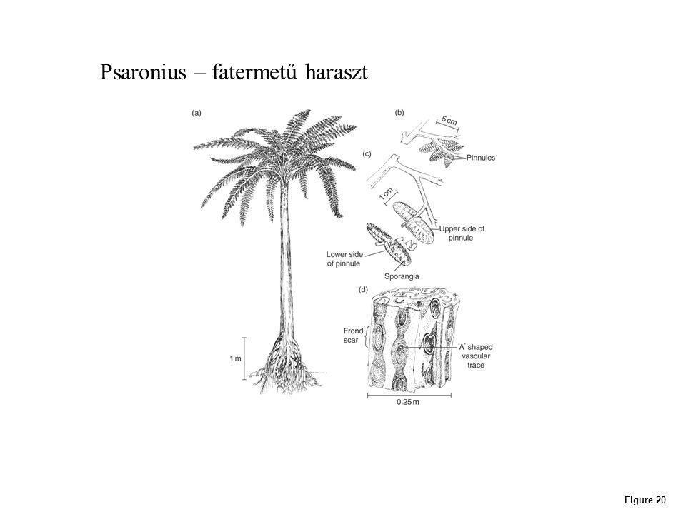 Psaronius – fatermetű haraszt